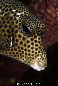 Trunkfish.  Bonaire. D200. 105mm by Robert Polo 